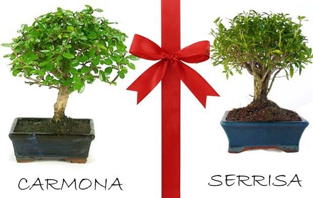 Bons i carmona o serrisa y libro plantas por - Libros sobre bonsai ...