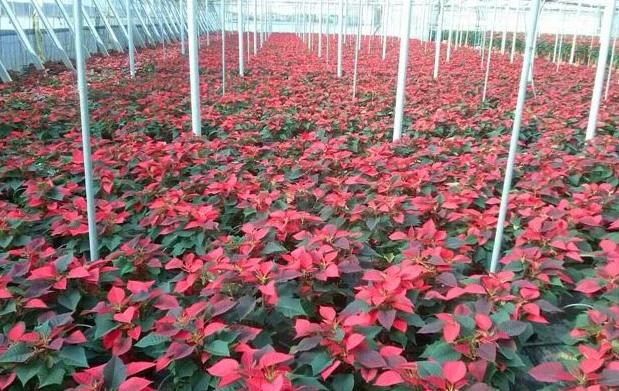 Flor de pascua para estas navidades por oferta - Viveros gimeno salamanca ...